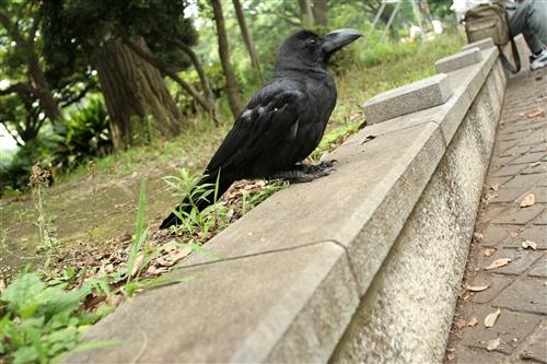 上野公園のカラス